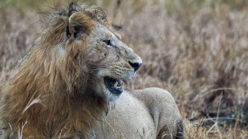 Caçador pisoteado por elefante é comido por leões