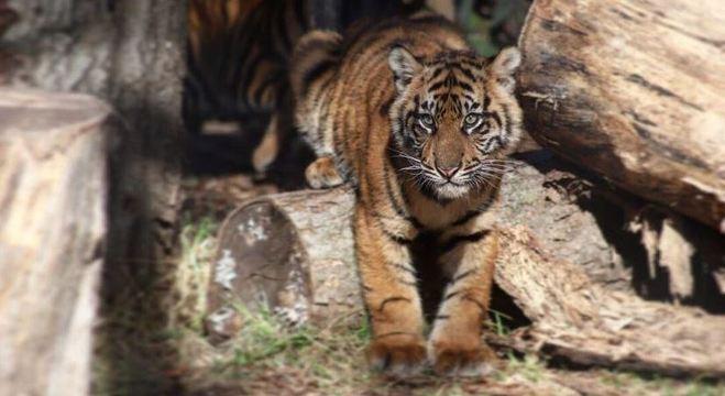 Tigre ataca mulher em zoológico nos Estados Unidos